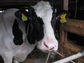 横浜で酪農の仕事都会的牧場ワーク始めませんか?酪農経験者募集中!