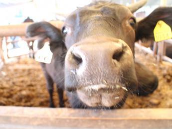 【中途・新卒募集中】ふるさとから元気に♪元気牧場ブランド「高井田牛」を愛情込めて育てませんか?