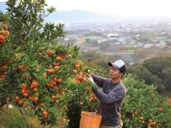 <家賃無料の寮あり>★急募★超短期★柑橘類の収穫アルバイトの募集です【即日~12月まで】