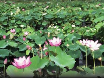 【正社員・パート同時募集!】 京都市中心から車で30分、嵐山まで30分の好立地! 山野草や水生植物を一緒に生産しましょう!