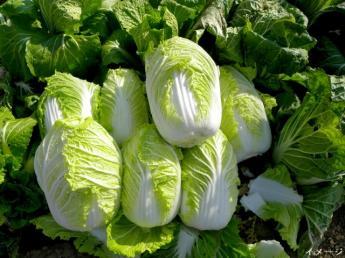 レタス、白菜の栽培をお手伝いください!夫婦2人で運営するアットホームな家族農園です♪【個室寮あり・3食付き】
