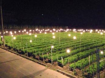 沖縄の夜空に輝くオレンジの灯り☆電照菊農家で働きながら、沖縄生活を始めてみませんか?