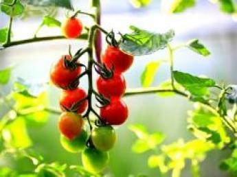 ◆従業員定着率100%、研修体制はバッチリです!◆千葉県でミニトマトを作りませんか♪【寮あり】