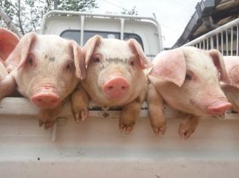 豚って愛着があってかわいい生き物ですよ♪アットホームな雰囲気の中「好き」を仕事にしてみませんか?◆週休2日◆