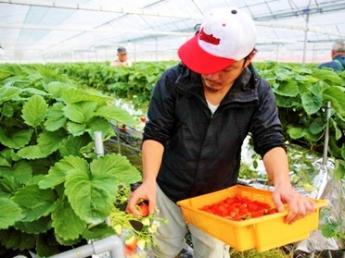 《研修生募集!》坂道の小京都 杵築市に「いちご」で就農しませんか?【移住支援制度あり】