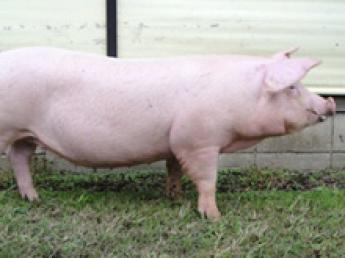 国内最大級の規模の豚のブリーダー企業! マーケットのニーズに合わせた質の高い種豚を全国の養豚農家様へ供給しています
