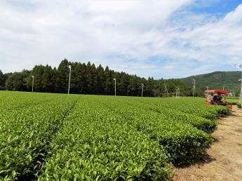 お茶の生産量が日本一の町南九州市で、一緒に美味しいお茶をつくりませんか?未経験の方からのご応募大歓迎!正社員&アルバイト・パートさん同時募集いたします