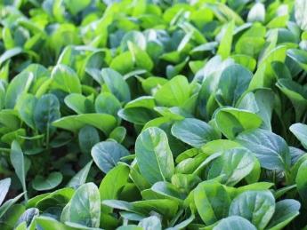 千葉市のベビーリーフ菜園。立ち上げから1年超。順調に事業拡大中! 【健康な物作り・儲かる農業】を目指して一緒に働きませんか?