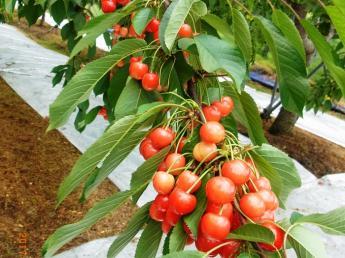 福島で果樹栽培に挑戦しませんか!?創業45年の観光果樹園の幹部候補の募集です!