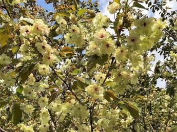 農業=野菜だけではありません。 私たちと一緒に桜を育ててみませんか?