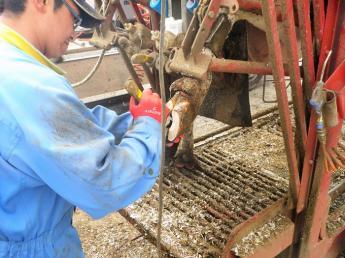 削蹄師助手募集! 酪農家さんの笑顔が私たちのやりがい。誰でもできる仕事です。1年目で年収500万円以上!
