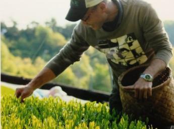 人気のお茶の収穫アルバイトの募集です!即日~9月末までの期間、お手伝いしてくださる方を募集します!\未経験者歓迎/