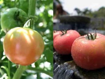 「夢」を「現実」に変えよう!高収益作物であるトマト・ピーマンで独立就農を目指しましょう!