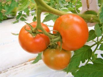 \限定1名募集/美味しさにこだわった高原トマトが自慢です! この夏は豊かな自然に恵まれた小さな山里、売木村で働いてみませんか?綺麗な別荘もご用意しています♪