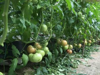 ◎日帰り◎匠が作る減農薬こだわり水耕トマトの栽培体験です♪