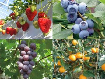 """料理・スイーツ好き歓迎♪太陽の恵みをたっぷり浴びたフルーツの収穫体験ができる観光農園で""""農園スタッフ""""を募集★"""