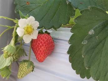 京都市内・大阪のベッドタウン・八幡市でねぎ栽培を中心に万願寺唐辛子やパプリカなどを栽培しています。今年から新たにイチゴ栽培をスタート!