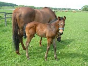 自然豊かな北海道で将来レースで活躍する大切な馬の育成をしてみませんか?