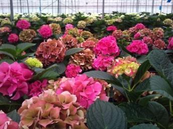 日本を代表するアジサイの匠、青木良平が経営する 「有限会社青木園芸」で「人々の心に響く花」を一緒につくりませんか?