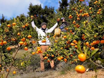 伝統を重んじながら新しいことにチャレンジしていくみかん農園、伊藤農園で一緒に働きませんか?【正社員、パート・アルバイト大募集!!】