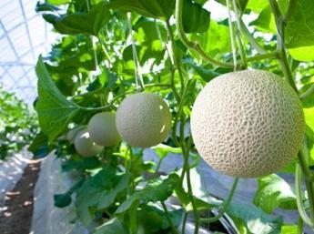 メロンのスペシャリストになりたいならココ!一本の苗にたった一玉・・・貴重なエメラルドメロンをあなたの手で栽培しませんか?