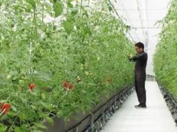 【儲かる農業】農業を魅力ある産業に!! トマト農場のスタッフ募集!★最新鋭植物工場★