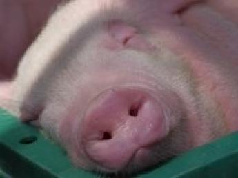 大切なのは誠実であること その思いを豚も感じてくれています。 美味しい豚肉をともに育てませんか