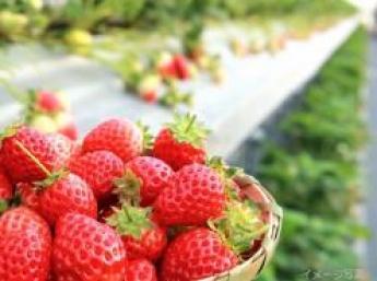 \待遇充実/都市近郊の笑顔溢れる農園観光いちご農園で加工部門にも携わってみませんか?