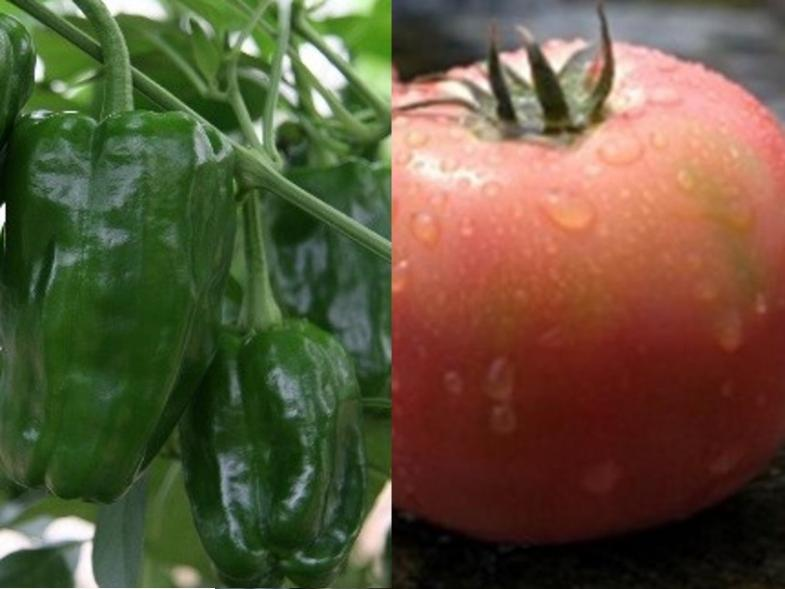 「夢」を「現実」に変えよう!高収益作物であるトマト・ミニトマト・ピーマンで独立就農を目指しましょう!