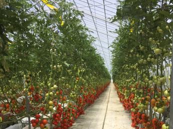 山形県内最大の大規模施設でトマトの栽培、収穫の仕事にチャレンジしませんか? 未経験の方も最初から丁寧に教えていきます♪