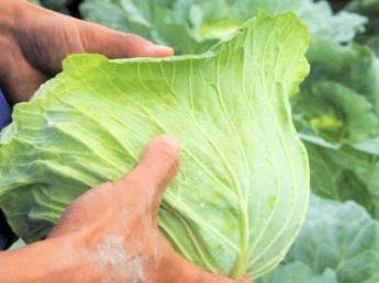 【期間限定バイト募集!4月20日~10月末頃】真夏も涼しい嬬恋村で高原野菜の収穫バイトをしてみませんか☆