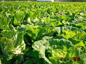 白菜、レタス、キャベツ、ブロッコリー、お米・・ 今年の夏は長野県小諸市で農作業にチャレンジしてみませんか? ◎未経験の方も歓迎!