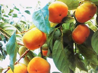 ◎12月上旬までの期間限定アルバイト! 地域の自慢の柿を全国に届けるため、お手伝いをお願いします! 未経験の方も大歓迎です!