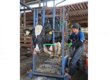 """未経験の方歓迎! 牛の健康を守る〝削蹄""""の仕事を究めませんか?"""