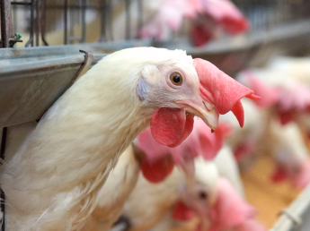 創業95年目!日々の努力の積み重ねが美味しいたまごを産み出します もうすぐ100年を迎える安定企業で、鶏の管理業務にチャレンジしませんか?