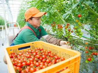 【スマート農業×ミニトマト】将来の管理職を募集!! ★年間休日124日★オランダ式の最新設備で農業をやりませんか?