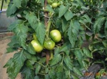 将来農業で自立する事を目標に!美味しい春レタス、大きくて甘いトマトを育てませんか?