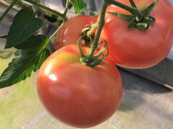 トマトの栽培担当者募集! 未経験の方でも始めやすく働きやすい養液栽培 みんなで支え合うみずはで一緒に働きませんか?
