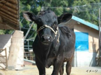 <牧場での経験がない方でも始めやすいお仕事>自然豊かな日本有数の畜産地帯で、可愛い仔牛たちのお世話をお願いします。 ※免許AT可でも相談可!