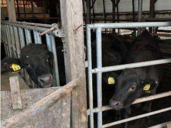 将来の後継者候補を募集! 自然豊かな牧場で、先進的な牛の飼育を学びませんか? 150頭規模の牧場で品質の高い和牛を育てています