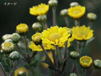 未経験・シニアもできるお花の収穫・選定アルバイト 大阪中心部から通勤圏内!全国有数の菊産地で働こう♪