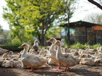 20代~30代が活躍!有名シェフにも愛される養鴨農家 生産から加工販売までの一貫経営を実施