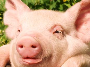 極上の高級ブランド肉を食卓へ! 大規模養豚場を担う管理職候補を募集
