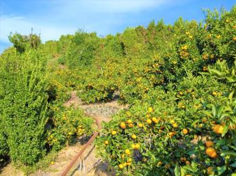 【寮・手作りの食事付き!】 親子で営むみかん農家にホームステイ♪ 毎年好評の短期アルバイターを募集!