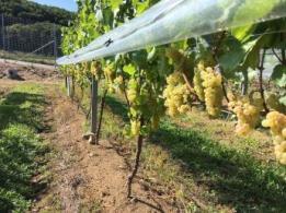 <span>知念正和農園</span>沖縄県 葉たばこ、紅芋
