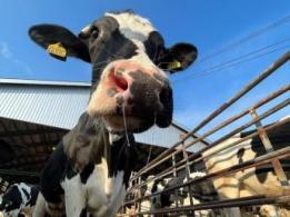 <span>石橋牧場【社会保険完備】</span>千葉県 酪農